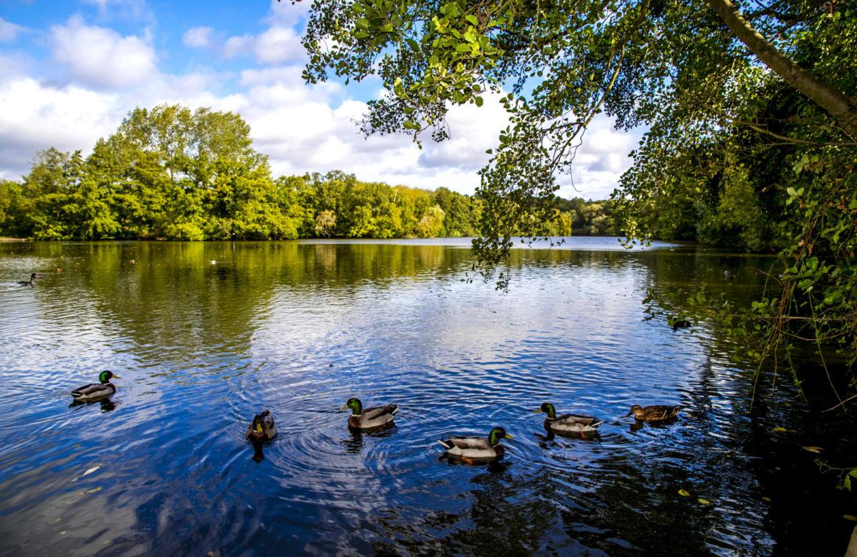 Ducks on a lake