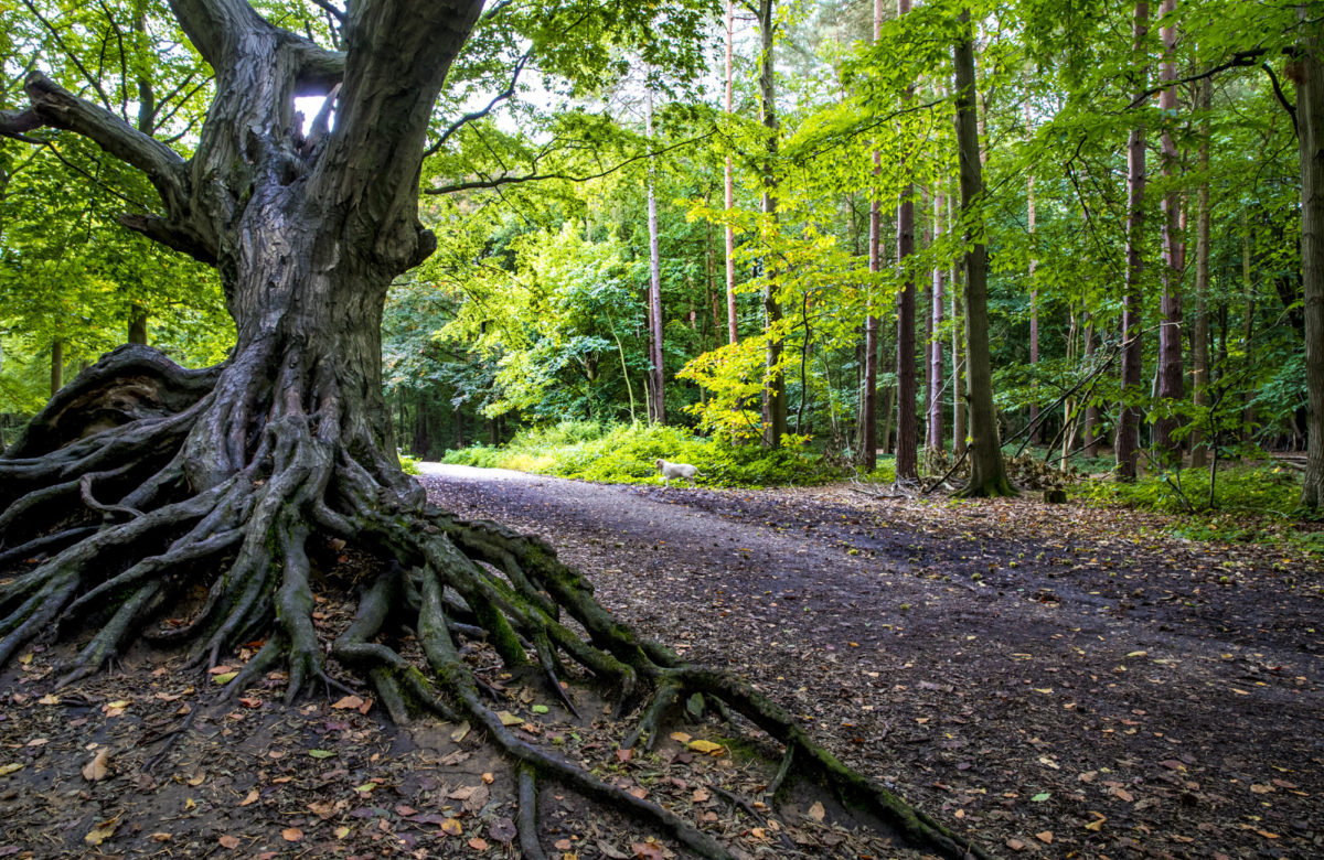An old tree in a forest near a trail