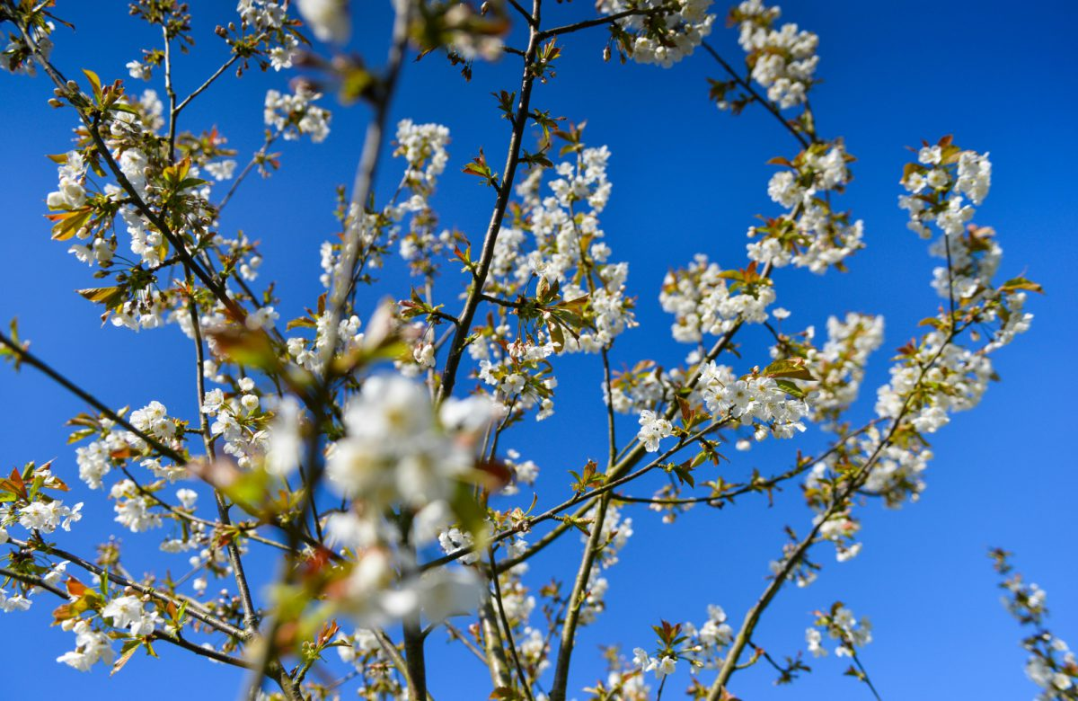 Blossom on a tree in spring