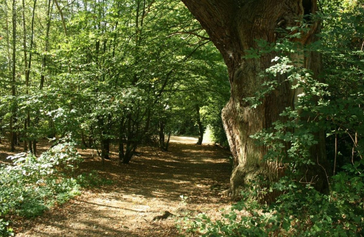 Danbury country park woods and path