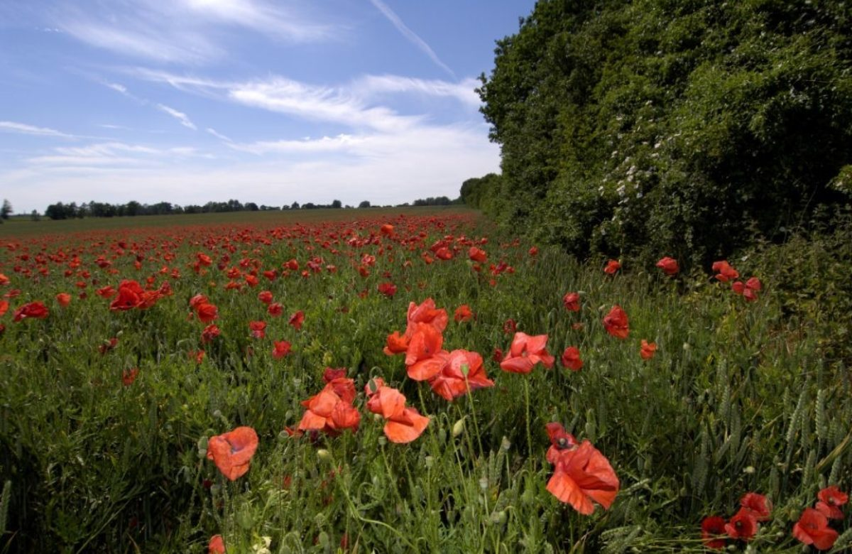 Flitch Way poppies in bloom