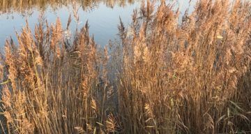 Autumn reed beds at Marsh Farm