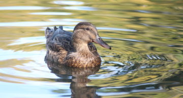 A duck in a lake
