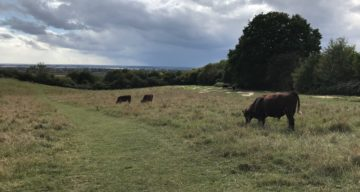 Red Poll cattle graze at Hadleigh park