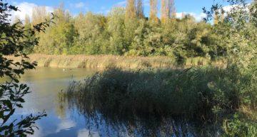 Reeds at Great Notley Lake