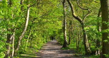 A tree-lined pathway in a forest