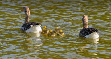 A family of geese on a lake