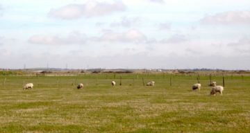 A field of grazing sheep on a cloudy day